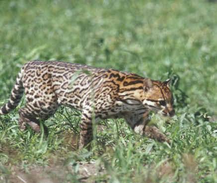 jaguat1